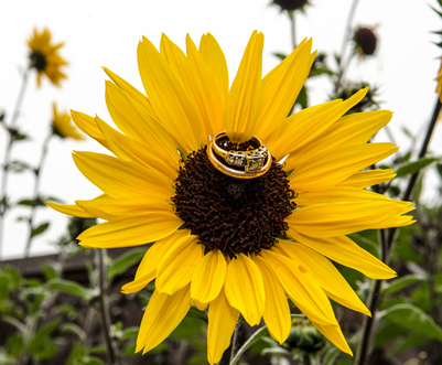 Wedding ring on a sunflower